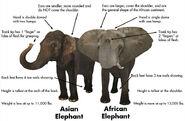 Asian Elephants vs the African Elephants