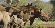 Black rhino herd