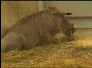 Cleveland Metroparks Zoo Warthog