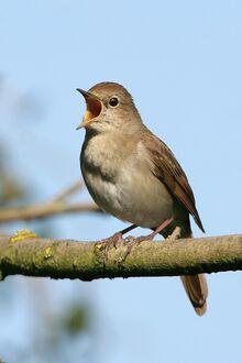 Common Nightingale.jpg