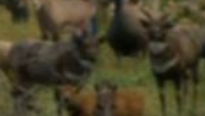 Evan Almighty Bushbucks
