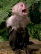 GOTJ Capuchin Monkey