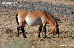 Horse, Przewalski's.jpg