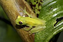La Loma Tree Frog