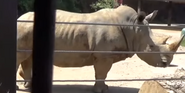 Knoxville Zoo Rhino