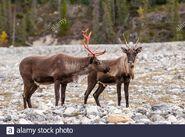 Male and Female Caribou