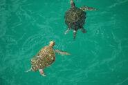 Male and Female Green Sea Turtles