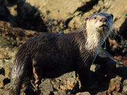 Otter, African Clawless
