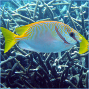Scribbled-Rabbitfish-or-Barred-Spinefoot-Fish.png