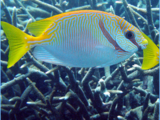 Barred Spinefoot