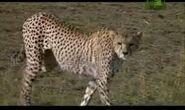 WTAF Cheetah.png