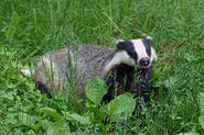 Badger (V2)