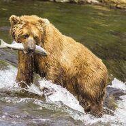 Bear, California Grizzly