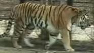 Blank Park Zoo Tiger