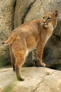 Bobcat LG
