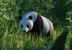 Giant-panda-planet-zoo