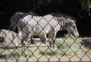 Grevy's zebra in denver zoo