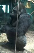 Louisville Zoo Gorilla