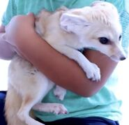 Ryan's World Fennec Fox