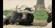 San Diego Zoo Safari Park Buffalo