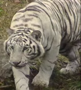 Zoboomafoo White Tiger