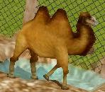 Bactrian-camel-zoo-empire