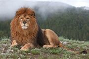 Barbary lion-4.jpg