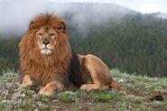 Barbary lion-4