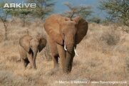 Female-and-young-African-elephant-walking