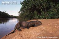 Otter, Giant.jpg
