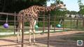 Tulsa Zoo Giraffe