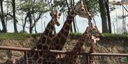 Walnut Creek Giraffes