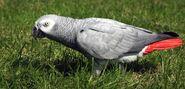 African-grey-parrot-16-1078x516