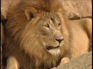 B&F Male Lion
