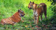 Bengal Tiger and Tigress (V2)