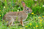 Cottontail, Eastern