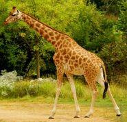 Giraffe, Kordofan