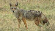 Golden-wolf-canus-anthus