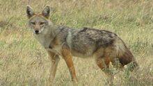Golden-wolf-canus-anthus.jpg