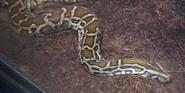 Indianapolis Zoo Burmese Python