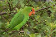 Lovebird, red-headed.jpg