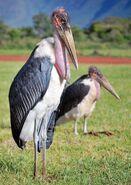 Male and Female Marabou Storks
