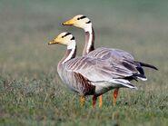 Male and female bar-headed geese