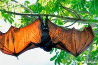 Pteropus vampyrus.jpg
