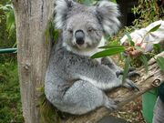 Queensland Koala.jpg
