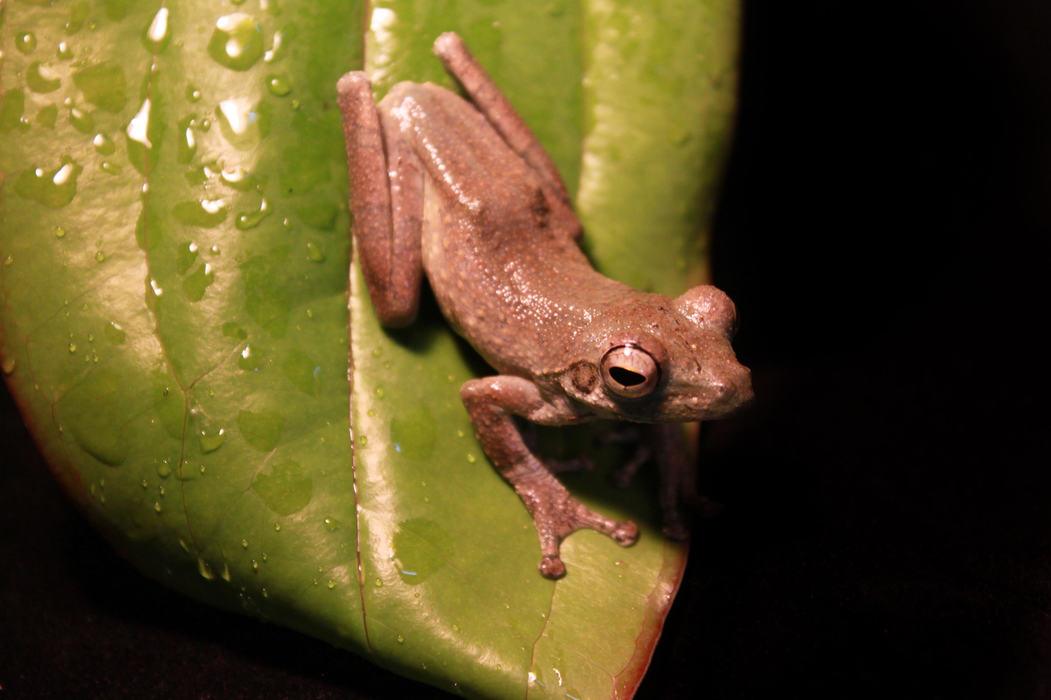 African Foam-Nest Tree Frog