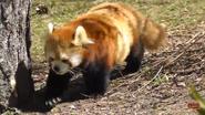 Toronto Zoo Red Panda