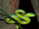 Chinese Tree Viper