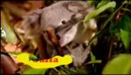 BTJG Koala