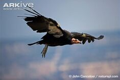 Condor (California).jpg